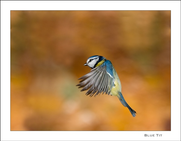 Blue Tit by gtroop