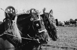 Photo : Shire horses