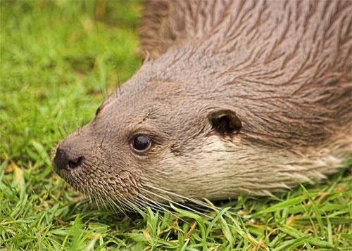 Otter by maggiem