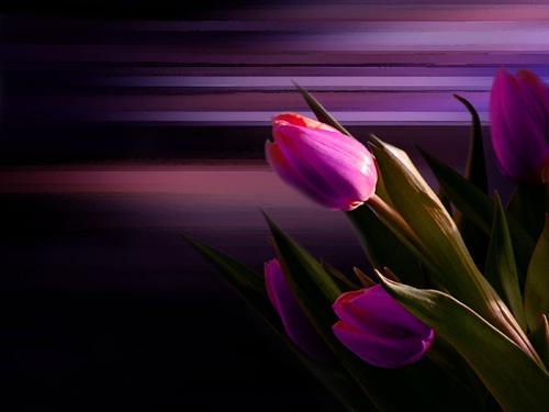 Tulips by Juliet