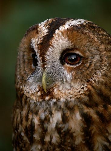 Tawny owl by RipleyExile