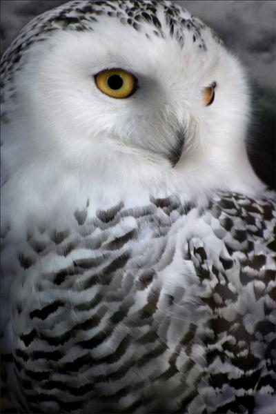 Hedwig. by becca_cusworth