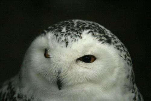 snowy owl by neleliza