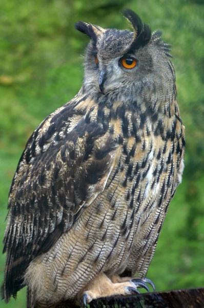 eagle owl by Blueprint
