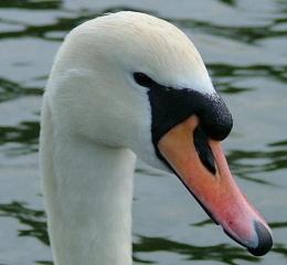swan!!!