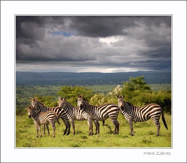 Mara Zebras by stevie
