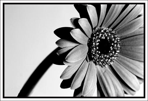 Black and White Flower by nikguyatt