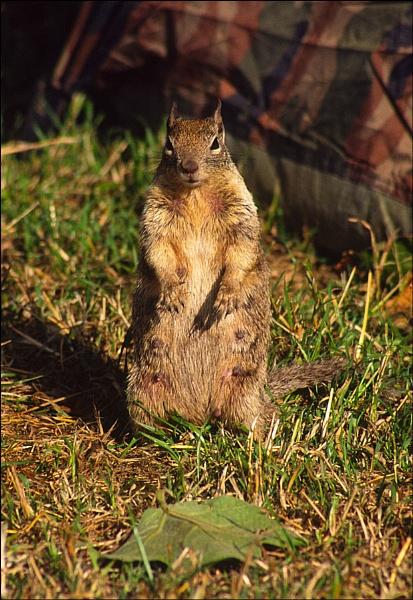 Ground Squirrel by mlewis