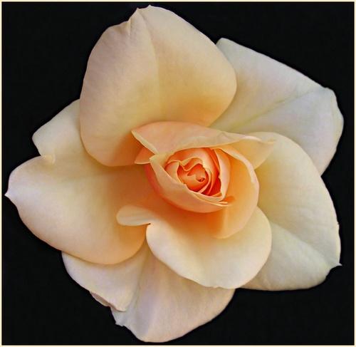 rose peach white by evelen