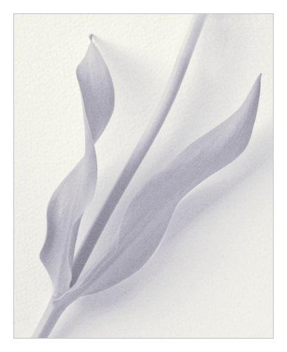 Tulip Stem by JohnHorne