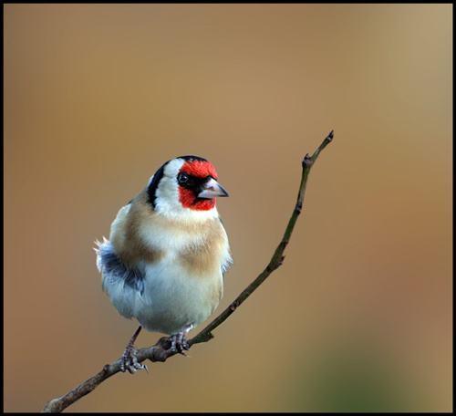 Goldfinch by pcjackso