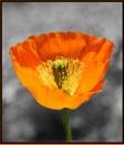 Poppy Popping by Mavis at 09/01/2007 - 9:48 PM
