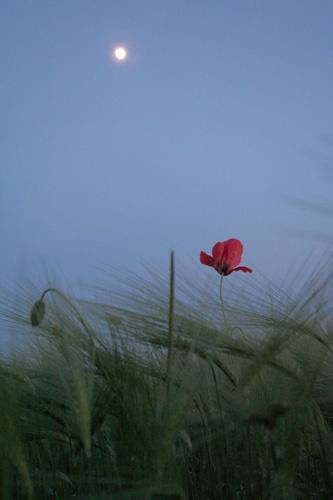 Lone Poppy by SimPick