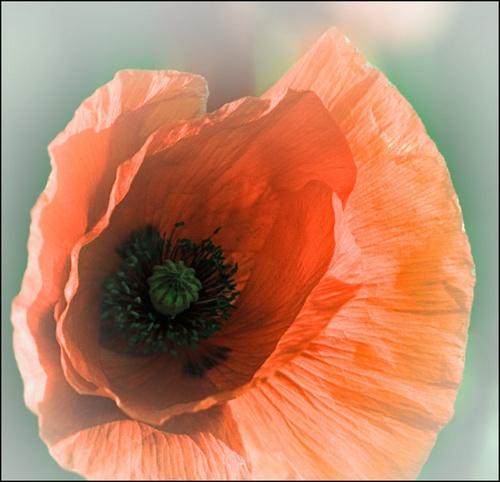 Poppy by walterL