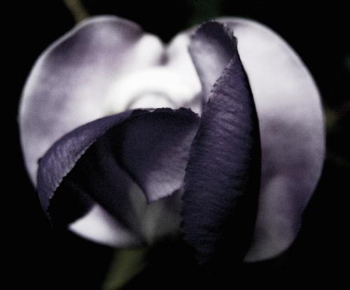petals by helenam