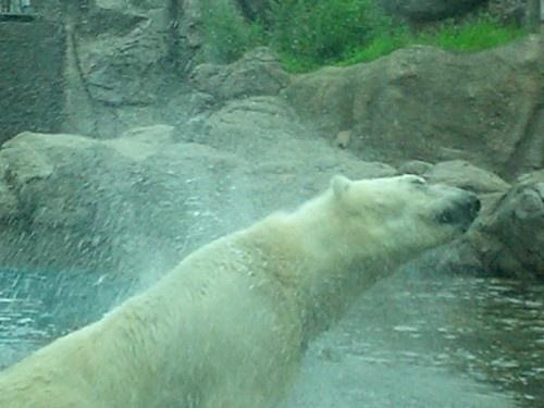 "\""Shake It \"" Polar Bear Style by EMMA1"