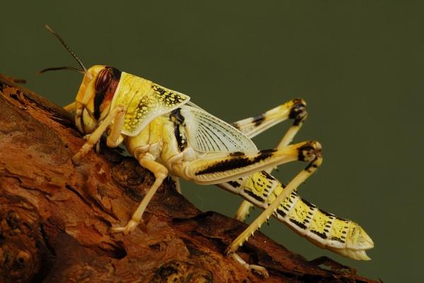 Desert Locust by McKenzie