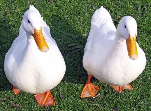 2 ducks by imagio