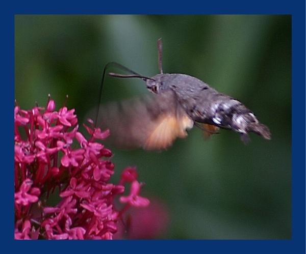 Hummingbird Hawk Moth by warbstowcross