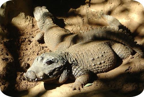 Croc by gsxr400