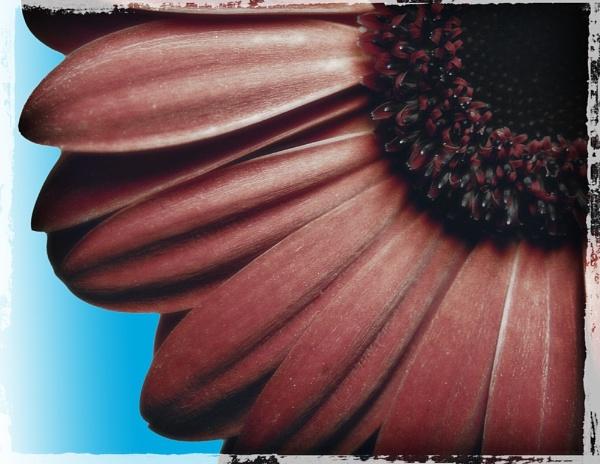 Gerbera art by garymcparland