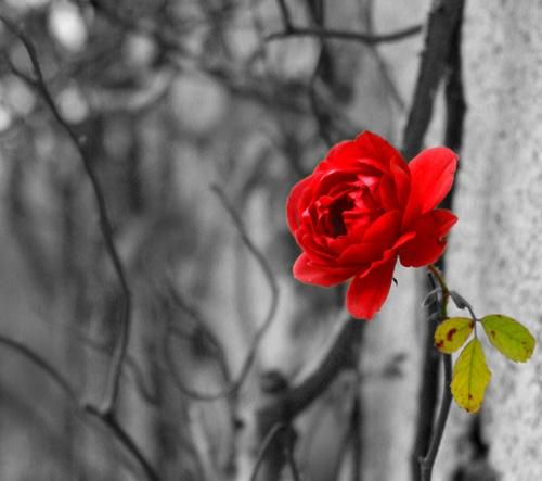 Red Rose by Steven_Tyrer