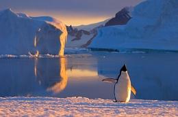 penguin calling