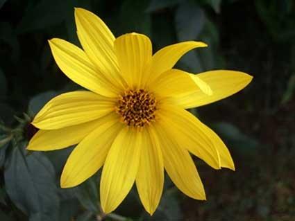 Perennial Sunflower by Squirrel