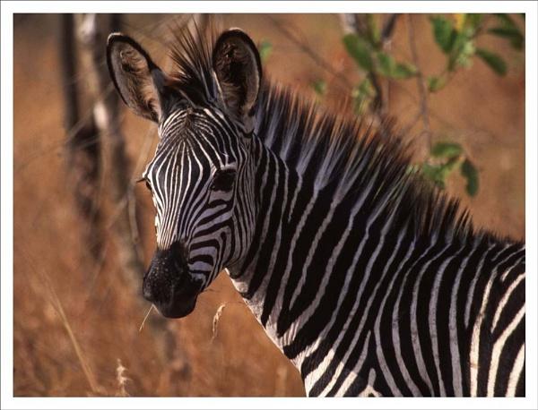 Burchells Zebra, Tanzania. by rontear