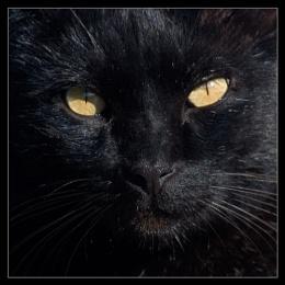 Canarian Cat