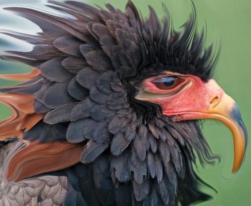 bateleur Eagle by imagio