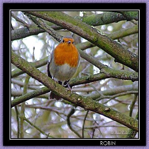 Robin by dickiedriver