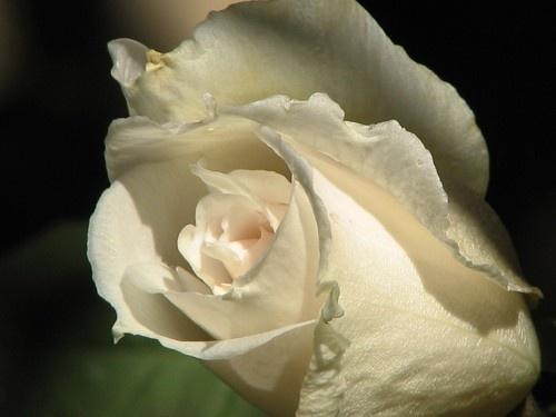 Rose by museebfoto