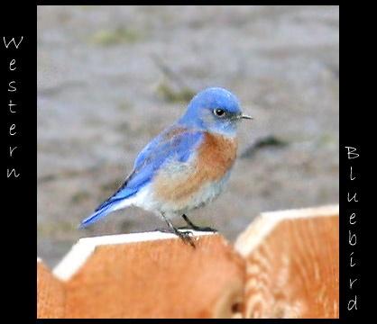 The Bluebird by mommy2cutekids