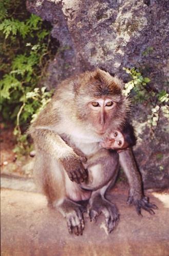 Temple Monkey\'s by lotusphotos