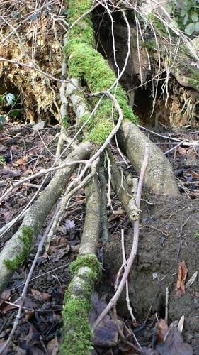 Mossy Root by Hughmondo