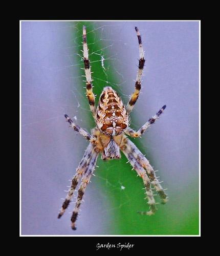 Garden Spider by essien
