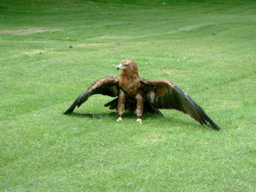 Bird of prey by cellop