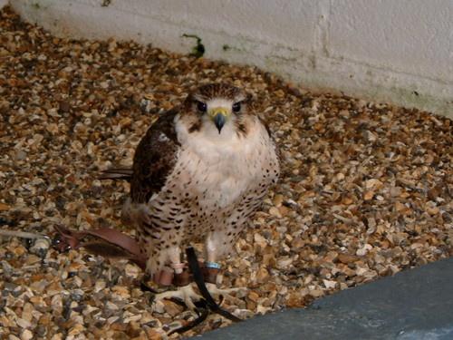 Peregrine falcon by cellop