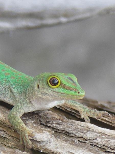 Seychelles lizard by hughscott