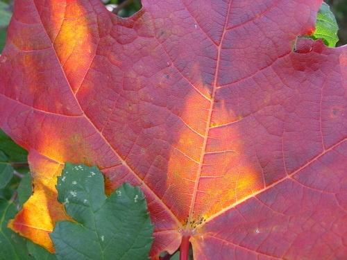 Maple at Bramshott by ericcarpenter