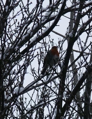 Robin by Dennie