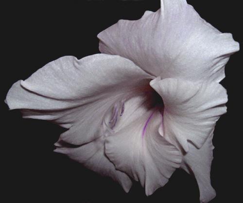 white gladiolus by evelen