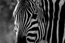 Zebra by TaniaV