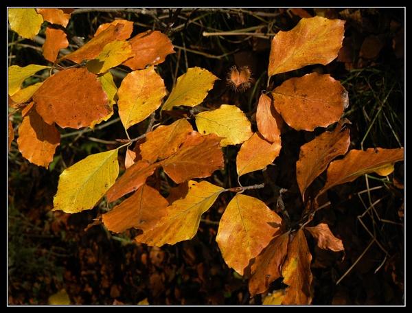 Beech leaves by Jamawa