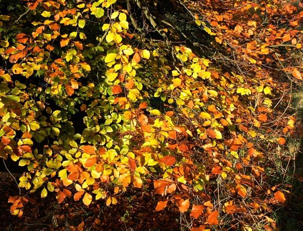 Beech leaves #2 by Jamawa