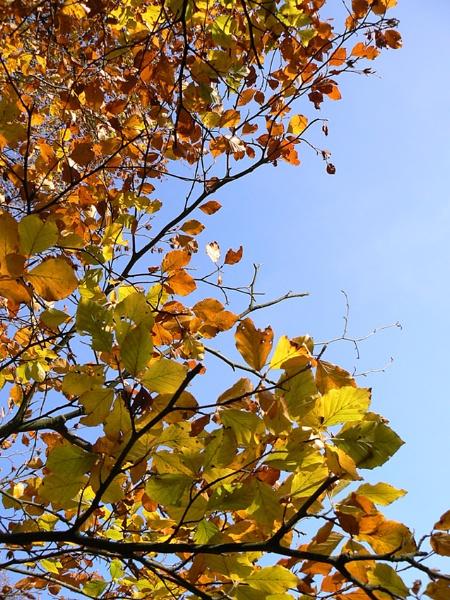 Beech leaves #3 by Jamawa