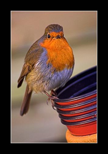 Robin by jimbocarroll