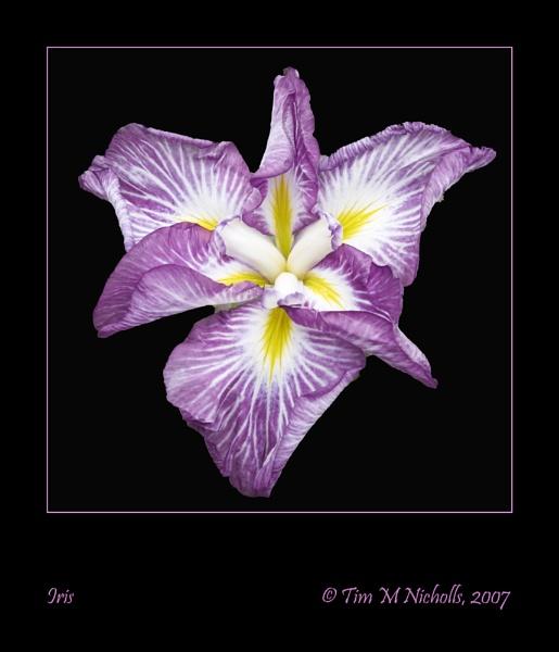 Mauve Iris by Ammonyte