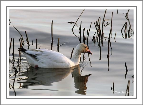 Snow Goose by alpha788